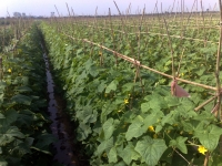 Cucumber and gherkins